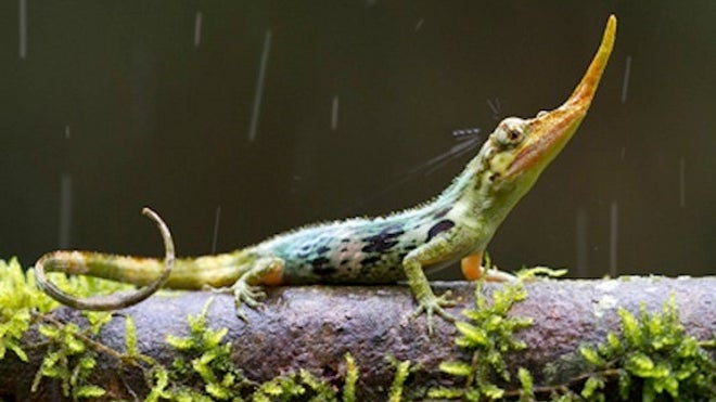 Once 'extinct' Pinocchio lizard pokes his nose out again