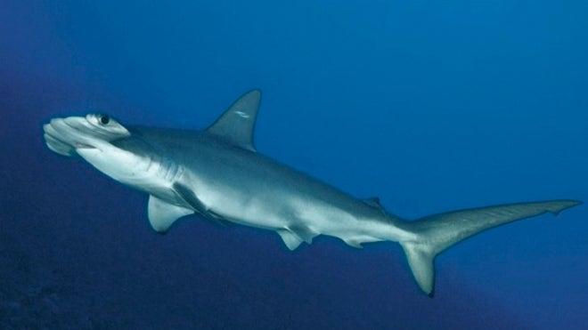 New hammerhead shark species found off South Carolina
