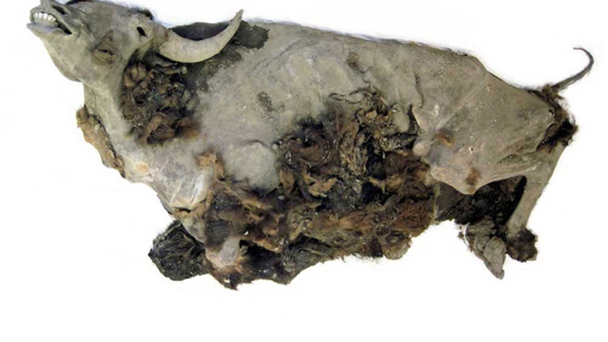 9,000-year-old bison mummy found frozen in time