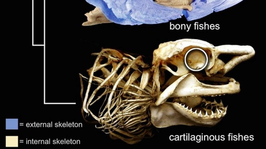 Fish-fossil-figure