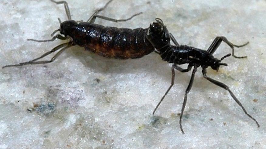 antarctic-midge-mating