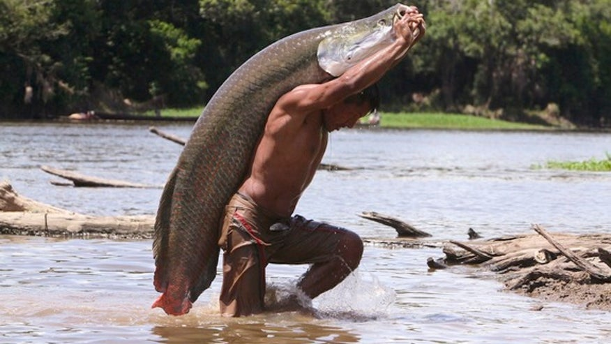 arapaima-amazon