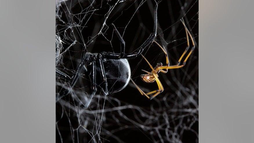 black-widow-male-female-140116