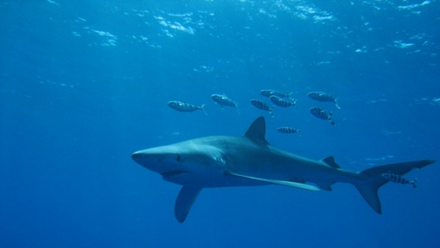 Baby shark hangout discovered off the Azores