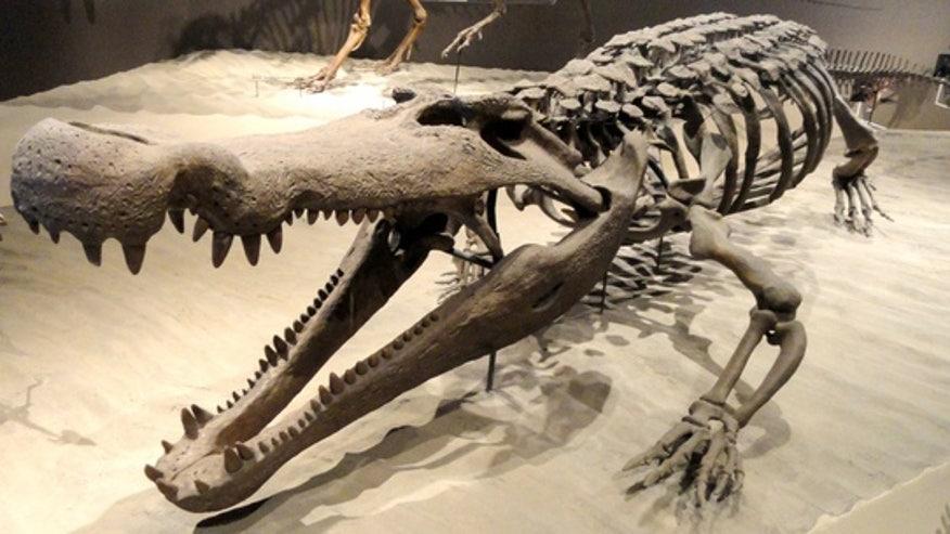 deinosuchus-crocodilian-skeleton