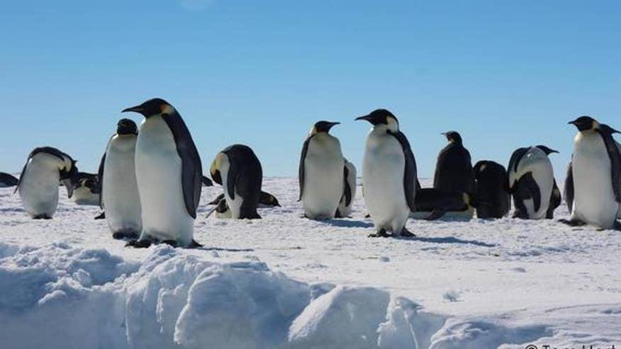 emperor-penguins-antarctica