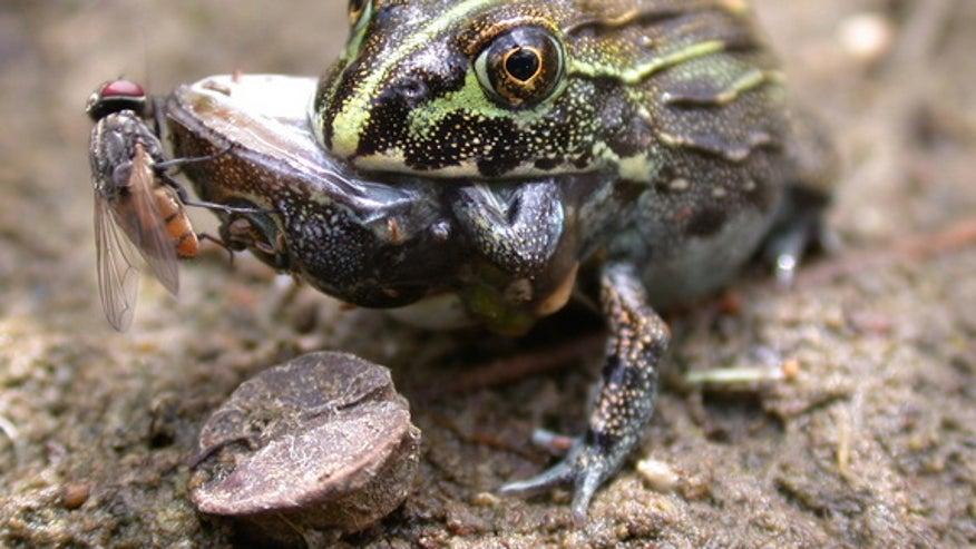 frog-eat-frog-1