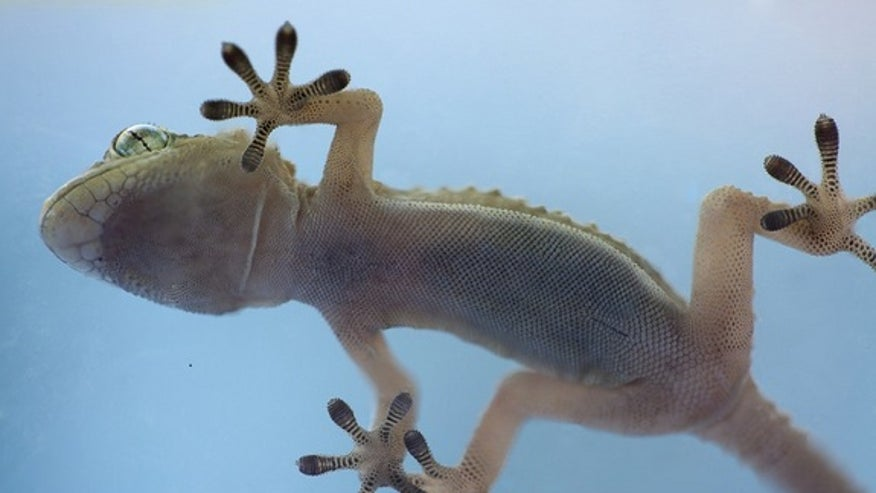 Geckos' sticky secret? They hang by toe hairs