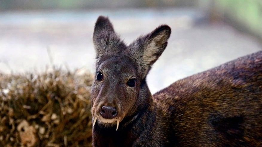 Deer with 'vampire fangs' spotted for 1st time in decades
