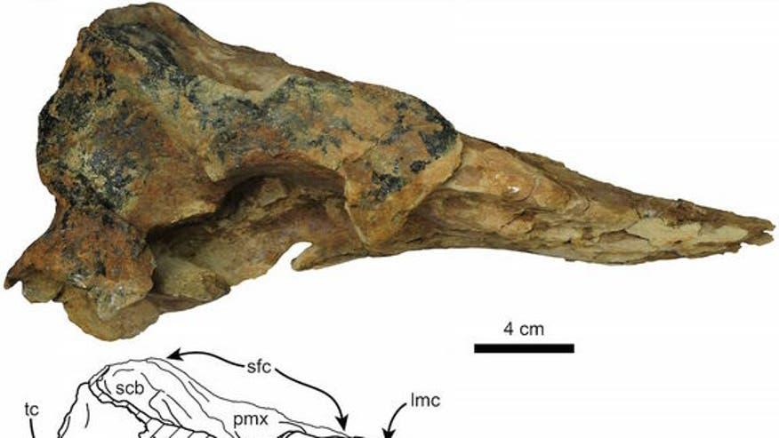 sperm-whale-skull
