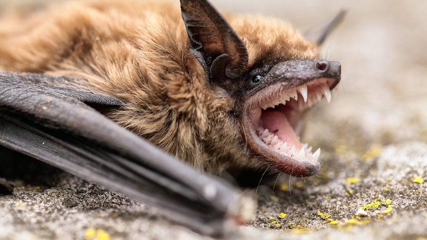 bat-teeth-eae33a3c8b880510VgnVCM100000d7c1a8c0____