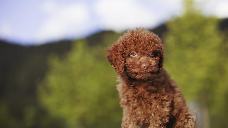 toy-poodle-6381e158bc1b1510VgnVCM100000d7c1a8c0____