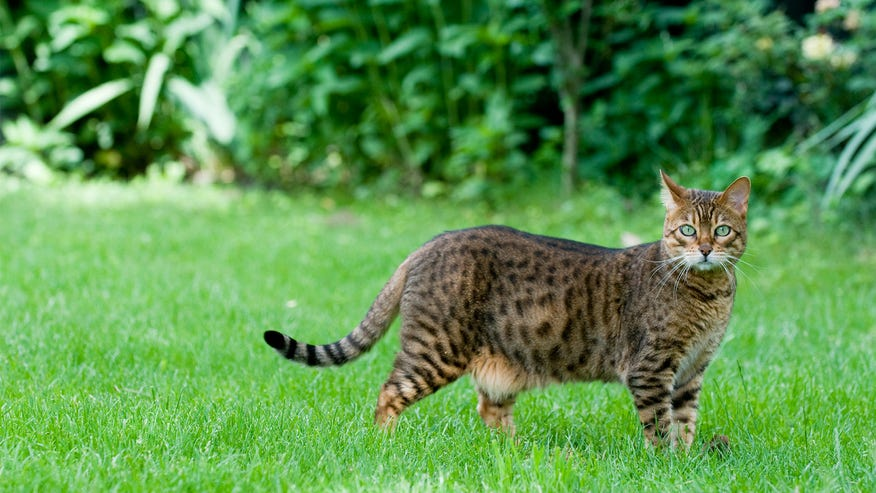 bengal-cat-7cdae7b90a6b1510VgnVCM100000d7c1a8c0____