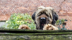 Canine-loving apartment dwellers shouldn't put off dog ownership for fear they don't have enough space. If you can provide a pooch with regular exercise, there are many breeds that can make great apartment pets. The post The Worst Dog Breeds for Apartment Living appeared first on Real Estate News and Advice - realtor.com.