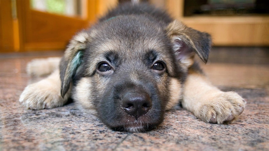 german-sheperd-puppy-ef480a9a81ea2510VgnVCM100000d7c1a8c0____