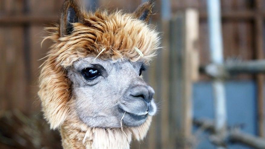 alpaca-127a32be4bf13510VgnVCM100000d7c1a8c0____