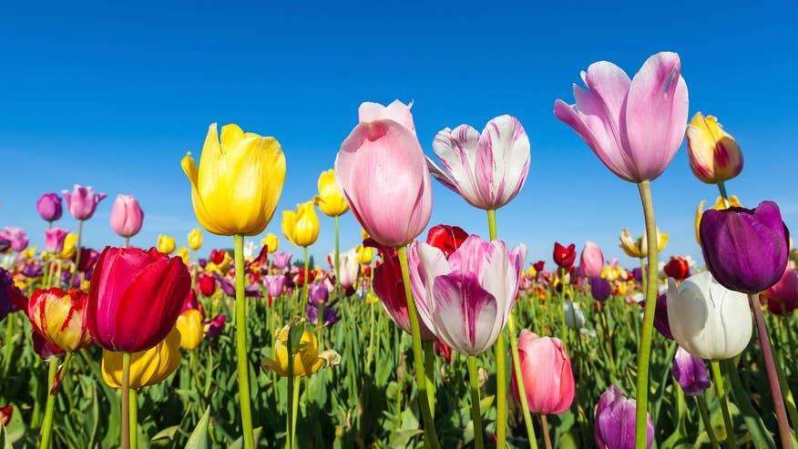 tulips-4b29081513044510VgnVCM100000d7c1a8c0____
