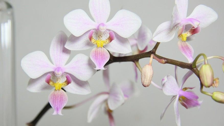Phalaenopsis-orchid-1e4ea37a6e975510VgnVCM100000d7c1a8c0____