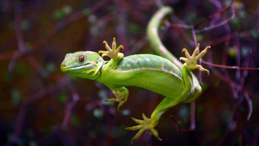 Gecko-68ba3a0f35277510VgnVCM200000d6c1a8c0____