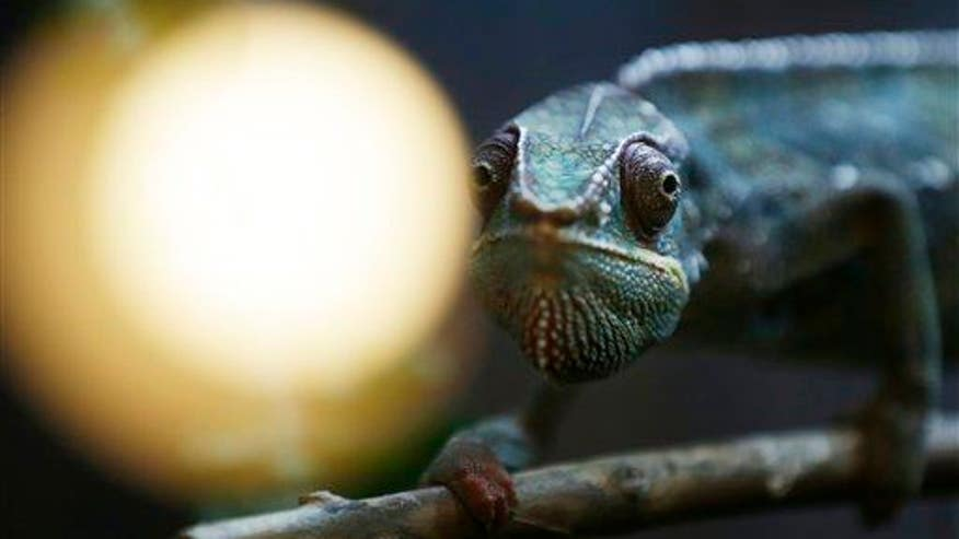 Here's how chameleons really change color