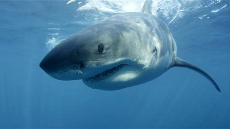 'Mystery monster' devours great white shark