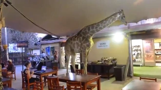 Giraffe wanders into a South African restaurant, tourists remain calm