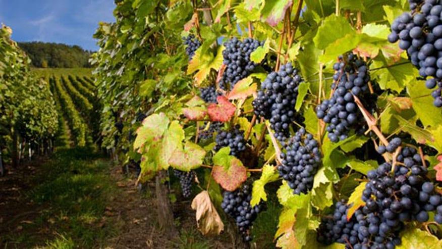 Vineyard-1-Istock-540300.jpg