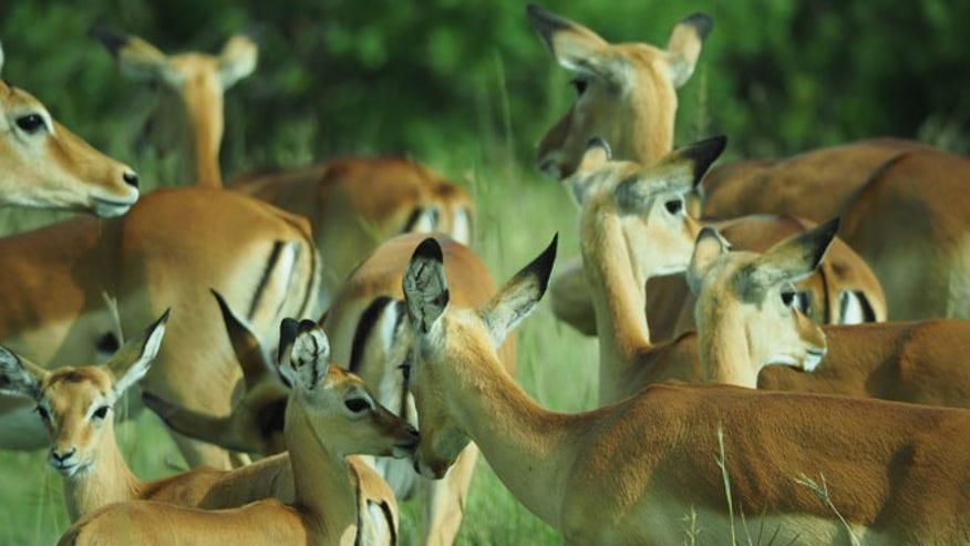 impala_safari.jpg
