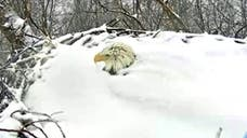 One bald eagle might be in the running for parent of the year. Despite the cold temperatures, one bald eagle has been captured by a live camera feed from the Pennsylvania Game Commission buried up to its head in snow as it sits over its eggs. In some images from the feed, the patriotic bird's beak can be seen poking out from the pile of snow.