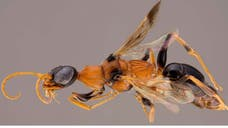 It's the stuff of nightmares – a newly-discovered wasp that turns cockroaches into zombies.