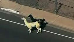 "In the 's, Paul McCartney gave us ""Band on the Run."" Thursday cable news (even CNBC) gave us ""Llamas on the Loose."" Two llamas, appropriately camera-ready for the TV-viewing public to appreciate, took it on the lam (not lamb) in Sun City, Arizona."