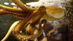 When an octopus needs to stalk its prey or avoid a predator, it c
