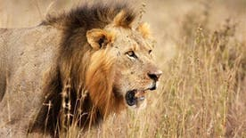 An expert cast doubt Saturday on reports that a male companion of Cecil, a famous lion killed by an American dentist in July, had also been shot dead by poachers.