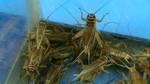 Cricket energy bars aim to get more Americans to eat bugs Fox News