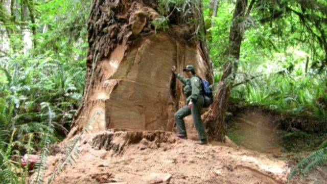 Poachers targeting California's redwoods to feed drug habits