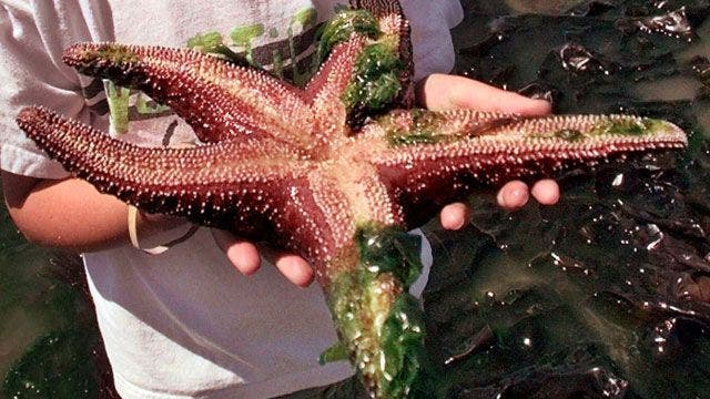 Starfish ripped apart by mysterious disease
