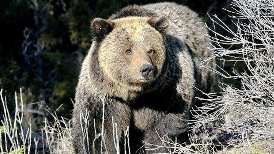 yellowstone national park latino personals The entire wikipedia with video and photo galleries for each article find something interesting to watch in seconds.