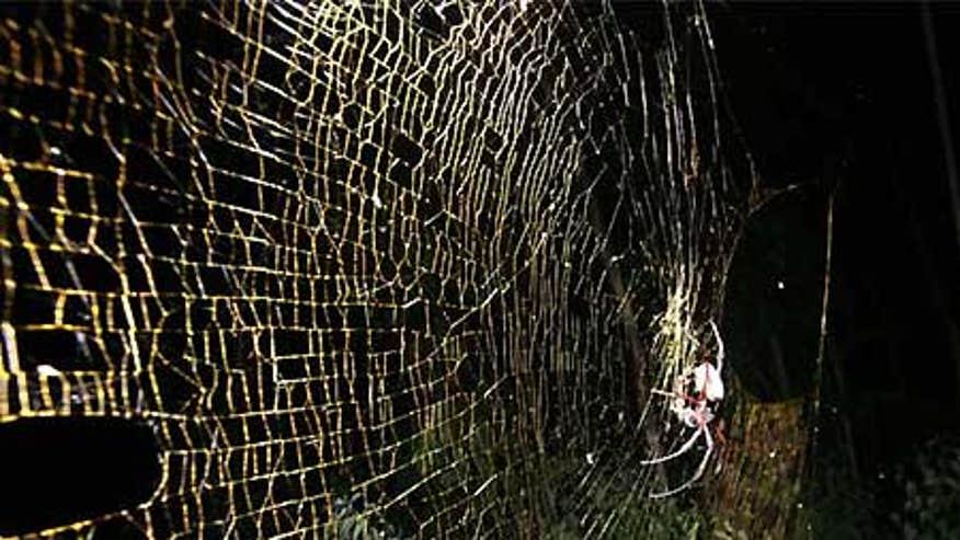 0_21_Spider_nephila_inaurata