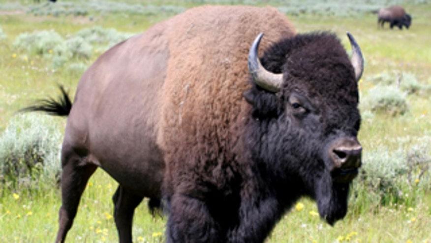 0_61_bison320_1