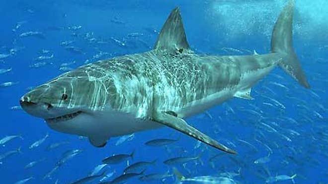 Большая белая акула - один из самых внушительных хищных зверей на планете.