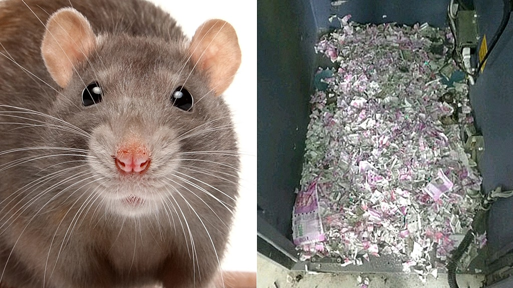 Trapped rat eats himself to death in $18G ATM binge