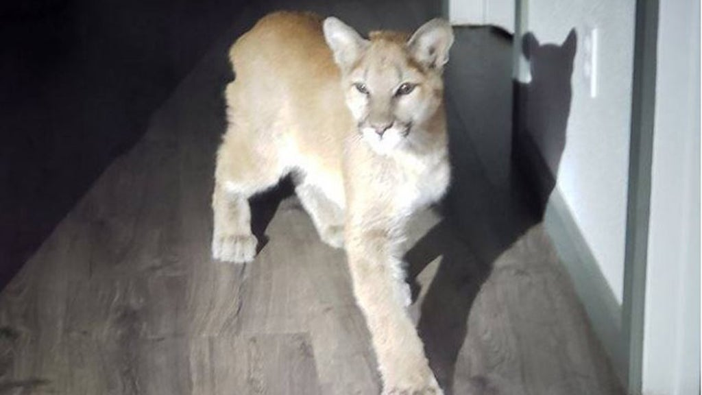 Mountain lion cub that walked into California bakery euthanized