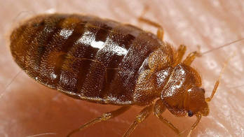Bed bugs copulate via