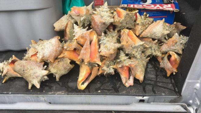 Florida beachgoer who took queen conch shells sentenced to 15 days in jail: report thumbnail