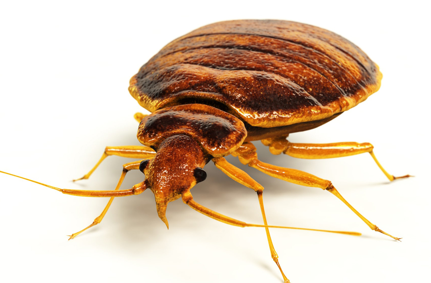Bed bug outbreak hits British cities