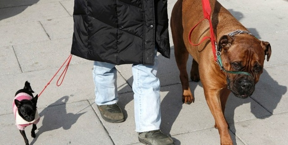 A woman walking her vastly different sized dogs provides a study in contrast in downtown Washington February 25, 2008. On the left is her Chihuahua and on the right is her Bull Mastiff.   REUTERS/Kevin Lamarque   (UNITED STATES)