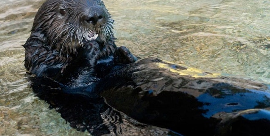 Photo courtesy of SeaWorld San Diego shows Abby the sea otter.