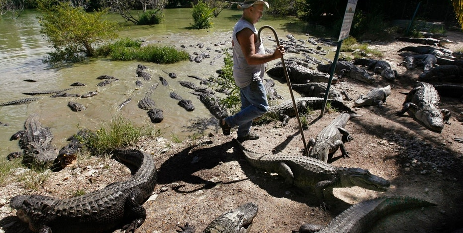 Bob Freer of Everglades Alligator Farm in Homestead, Florida, walks through a group of American alligators as they wait for feeding, October 2, 2006. The breeding pond holds approximately 300 alligators, some over 12-ft long weighing 400-pounds. The once-endangered alligator has made such a phenomenal comeback in Florida that state wildlife officials are considering making it fair game once again. Picture taken October 2, 2006.  REUTERS/Hans Deryk  (UNITED STATES) - RTR1IXA7