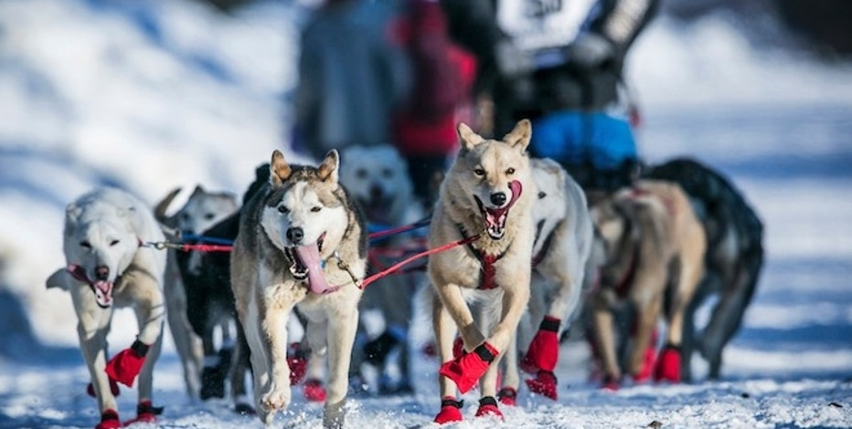 Kristy Berington's dogs cool off with their tongues out during the official restart of the Iditarod dog sled race in Willow, Alaska, March 2, 2014. The above freezing, warmer than average temperatures at the restart and lack of snow in interior Alaska promise to make this year's Iditarod an interesting race. REUTERS/Nathaniel Wilder  (UNITED STATES - Tags: SPORT ANIMALS SOCIETY) - RTR3FZ5G