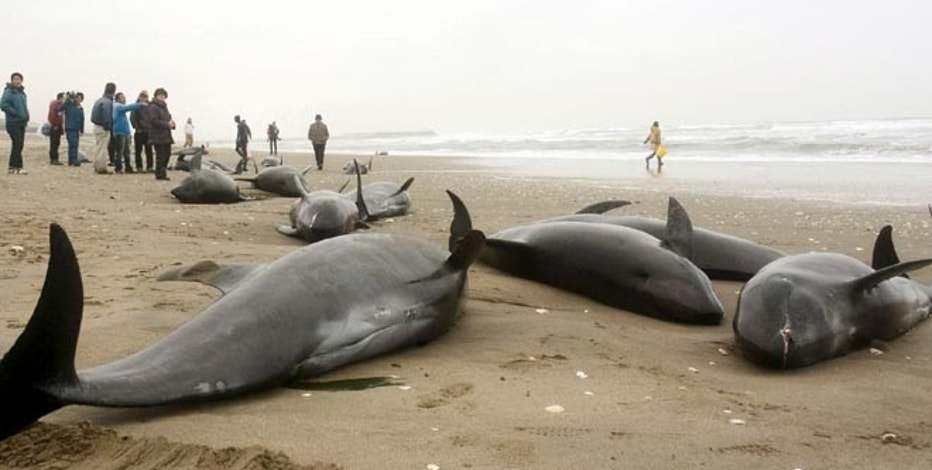 Local residents try to save melon-headed dolphins stranded on the coast in Hokota, northeast of Tokyo, in this photo taken by Kyodo April 10, 2015.